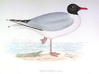 B-Headed-Gull