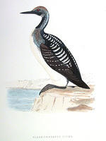 B-Throated-Diver