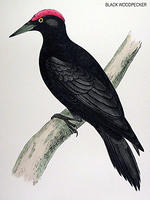 BLACK-WOODPECKER