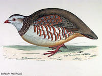 Barbary-Partridge
