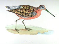 Brown-Snipe